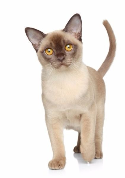 Burmese A Breed Descended From A Cat Called Wong Mau Who Was