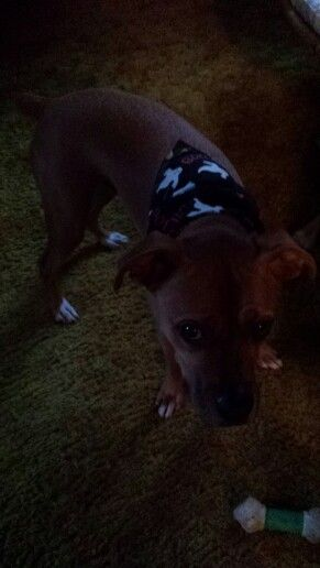 Dudley's, boxer lab mix, glow in the dark Halloween scarf