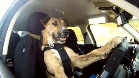 Driving Dogs Steer Attention To Spca Auckland Dogs Cute Animal Videos Pet Parent