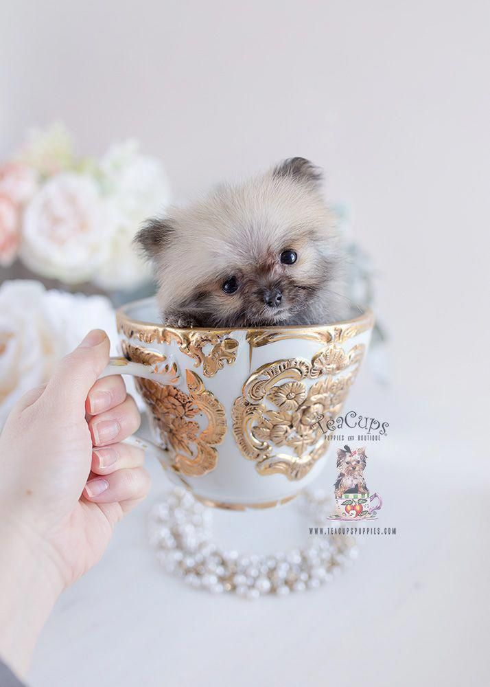 Everything About Cute Pomeranian Puppy Temperament #pomeranianslover #pomeranianpoodle #pomeranianhaircut #teacuppomeranianpuppy