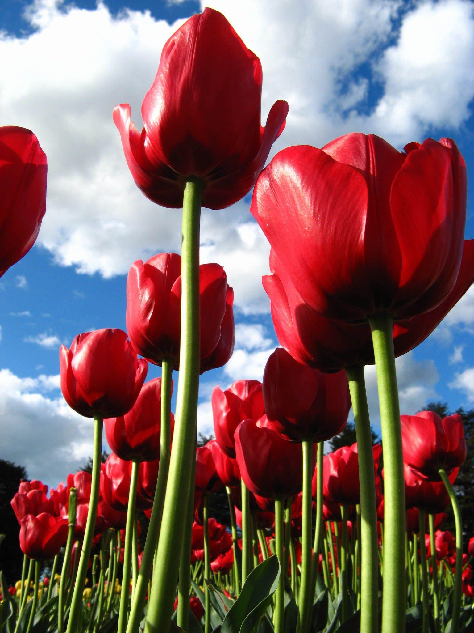Red tulips, taken at the tulip tesselaar festival in Melbourne.
