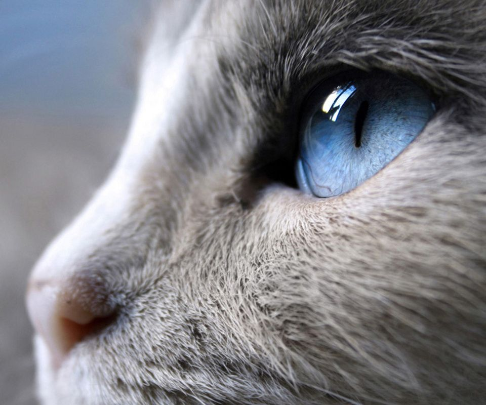 Russian Blue Cat With Blue Eyes Blue Cats Russian Blue Cat