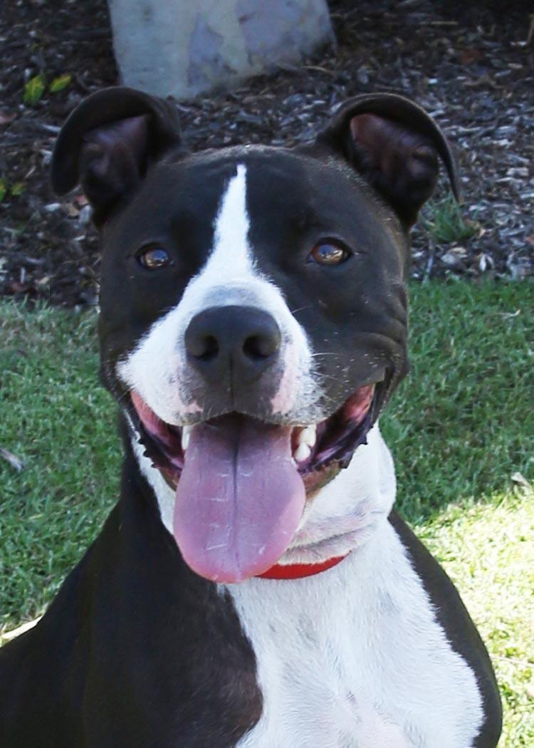 Vizsla puppies rescue california