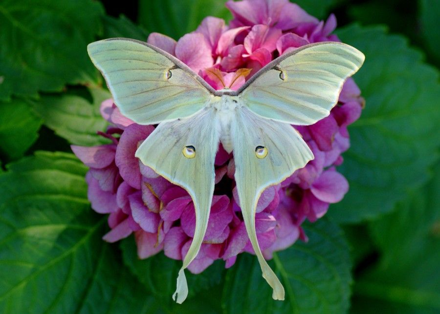 20 Moth Species More Beautiful Than Butterflies With Images Moth Species Luna Moth Moth