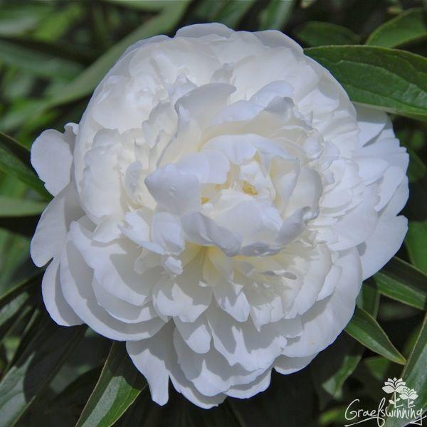 Paeonia White Ivory