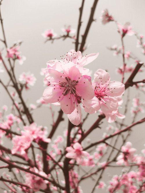 Cherry Blossom Muah Love Them Got Em Tatt Ed On Mehhh Flowers Pink Flowers Beautiful Flowers
