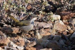 Special Birds / Karoo Eremomela / Fish River Canyon, Southern Namibia