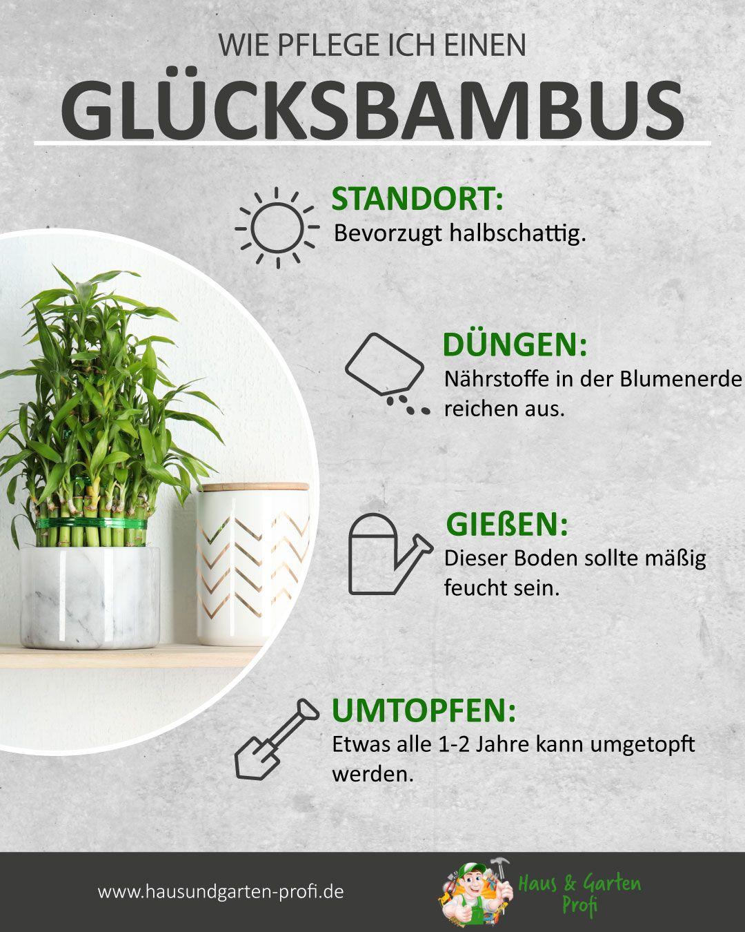 Glücksbambus: So simpel funktioniert es (Standort, Düngen, Gießen, Umtopfen)
