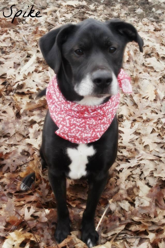 Adopt Spike on Adoption, Labrador retriever dog