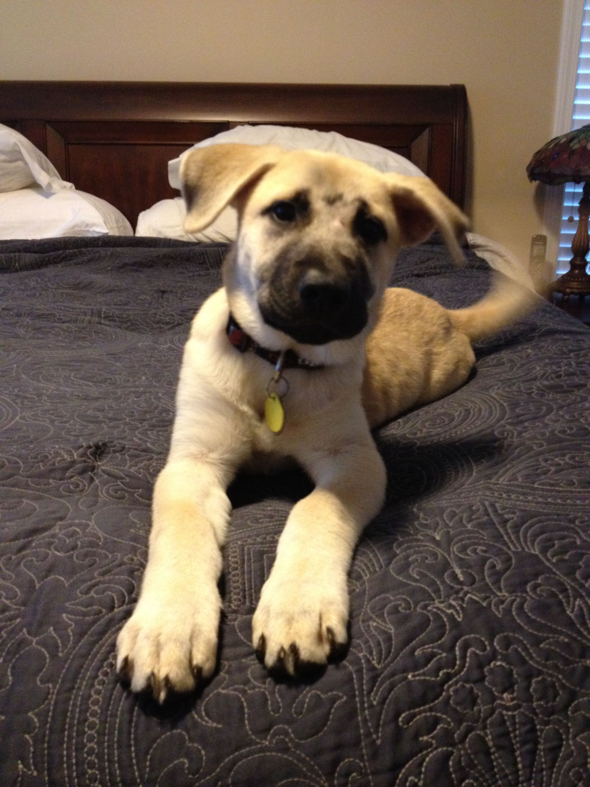 4 Month Old Rescue Bmc Corley Black Mouth Cur Black Mouth Cur Dog Animals
