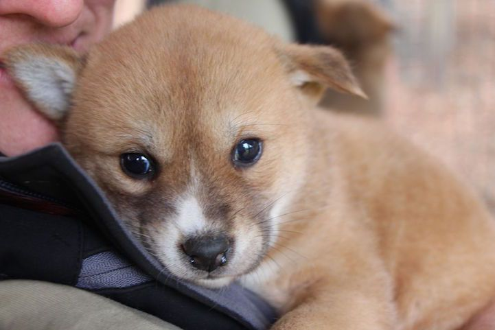 Five Adorable Dingo Pups Are The Fluffy New Additions To Australia S Wildlife Park Puppies Dingo Wildlife Park