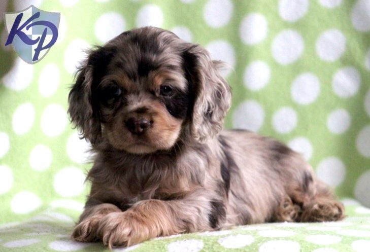Sable Cocker Spaniel Puppy Freaking Adorable Spaniel Puppies