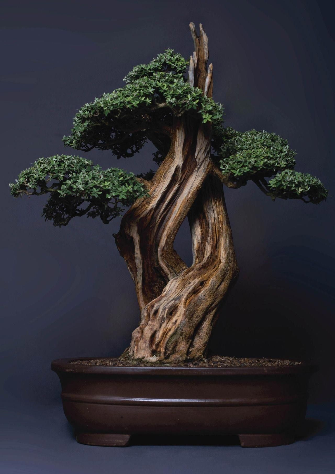 Juniper Bonsai Tree Care - Juniper Bonsai Tree Care Pictures, Best 49 Bonzai Wallpaper On Hipwallpaper