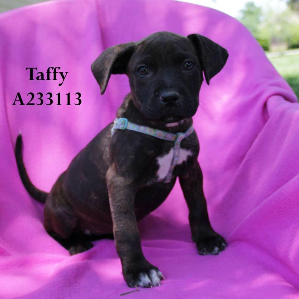Conroe, TX Taffy, ID A233113 (Location FOSTER HOME