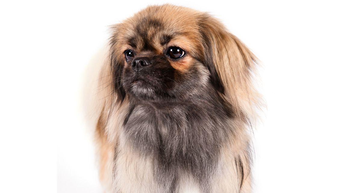 Tibetan Spaniel Woofipedia By The American Kennel Club Tibetan