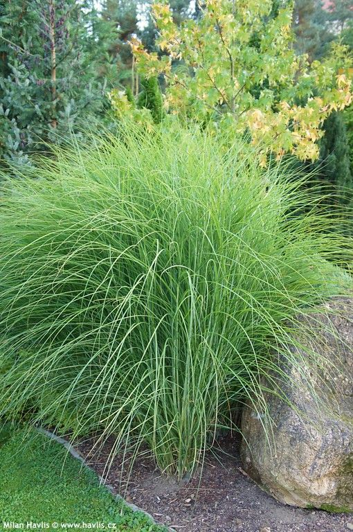 miscanthus sinensis gracillimus rostliny pinterest landscaping plants. Black Bedroom Furniture Sets. Home Design Ideas