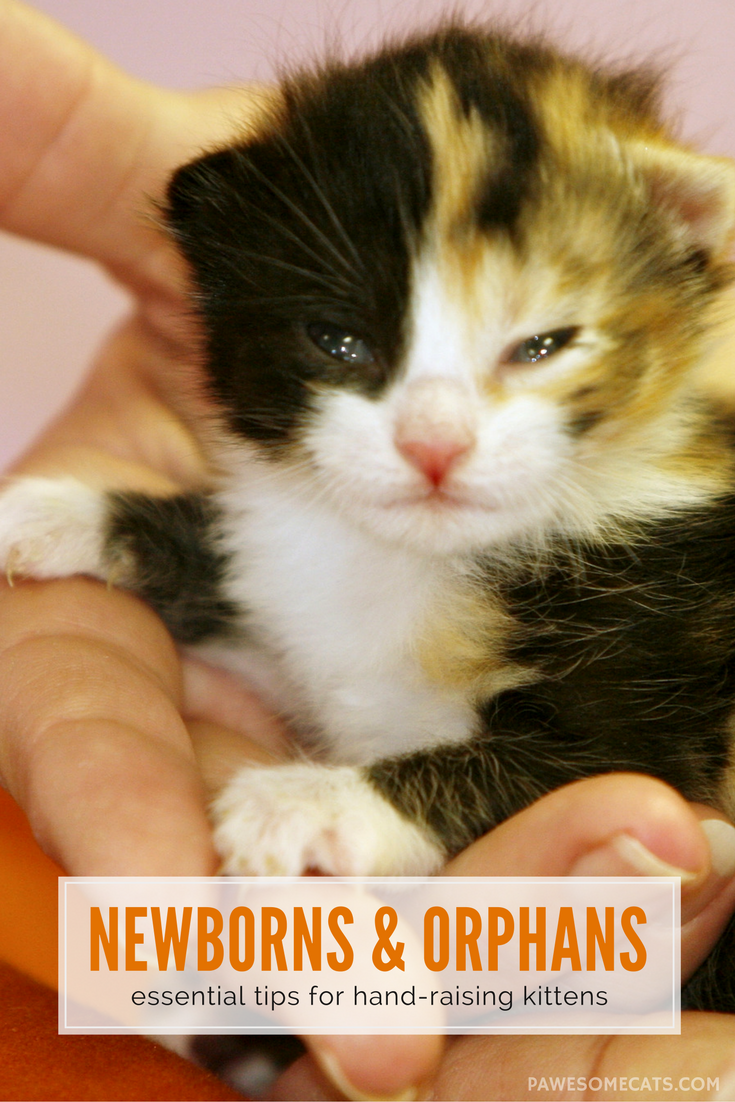 Raising Newborn Kittens Tips for Surrogate Cat Mothers