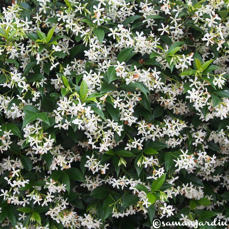 La championne des plantes grimpantes le faux jasmin ou for Plante persistante