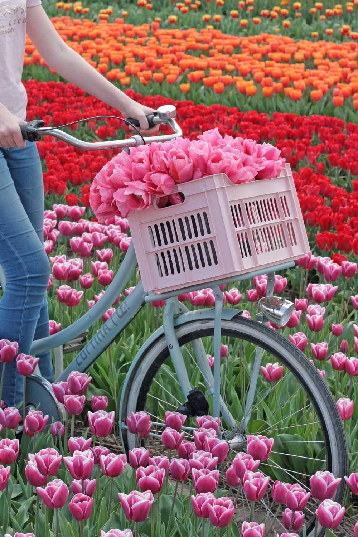 Visit The Dutch Tulip Fields Tulip Fields Flower Field Flower Farm