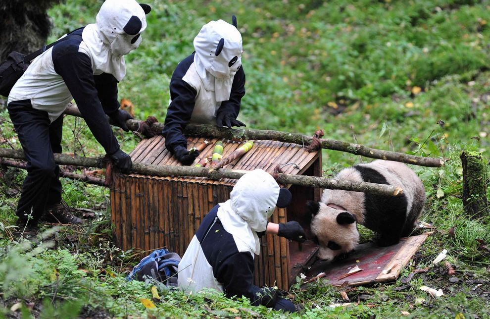 """""""Handlers dressed in panda costumes so that the infant would be free from human interference"""""""