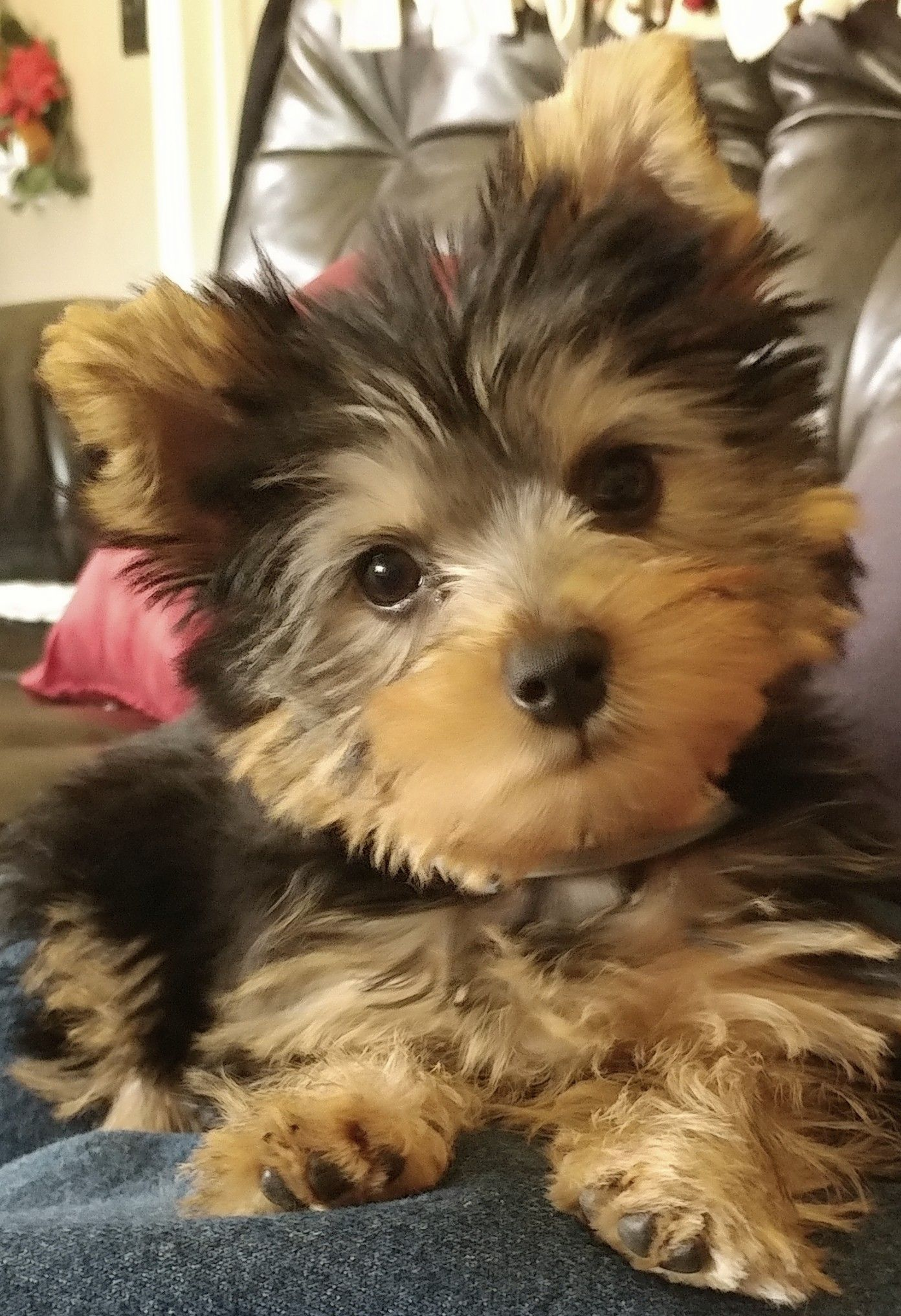 My Baby Boy Yorkie S Ears Popped Up Yorkie Dog Rules Puppies