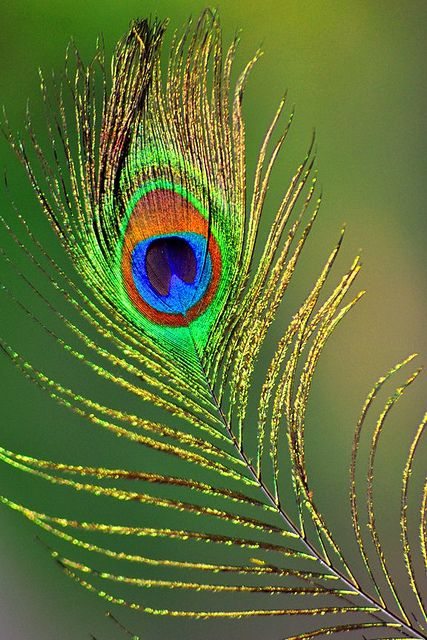 Peacock Feather Peacock Painting Peacock Feather Art Peacock Art