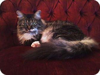 4 7 17 Warminster Pa Maine Coon Meet Jasmine A Cat For