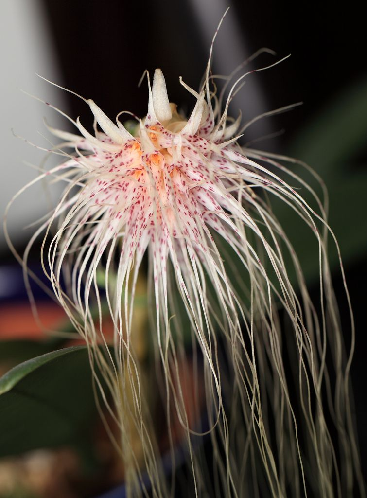 Medusa's Bulbophyllum / Bulbophyllum medusae / ブルボフィルム・メデューサエ
