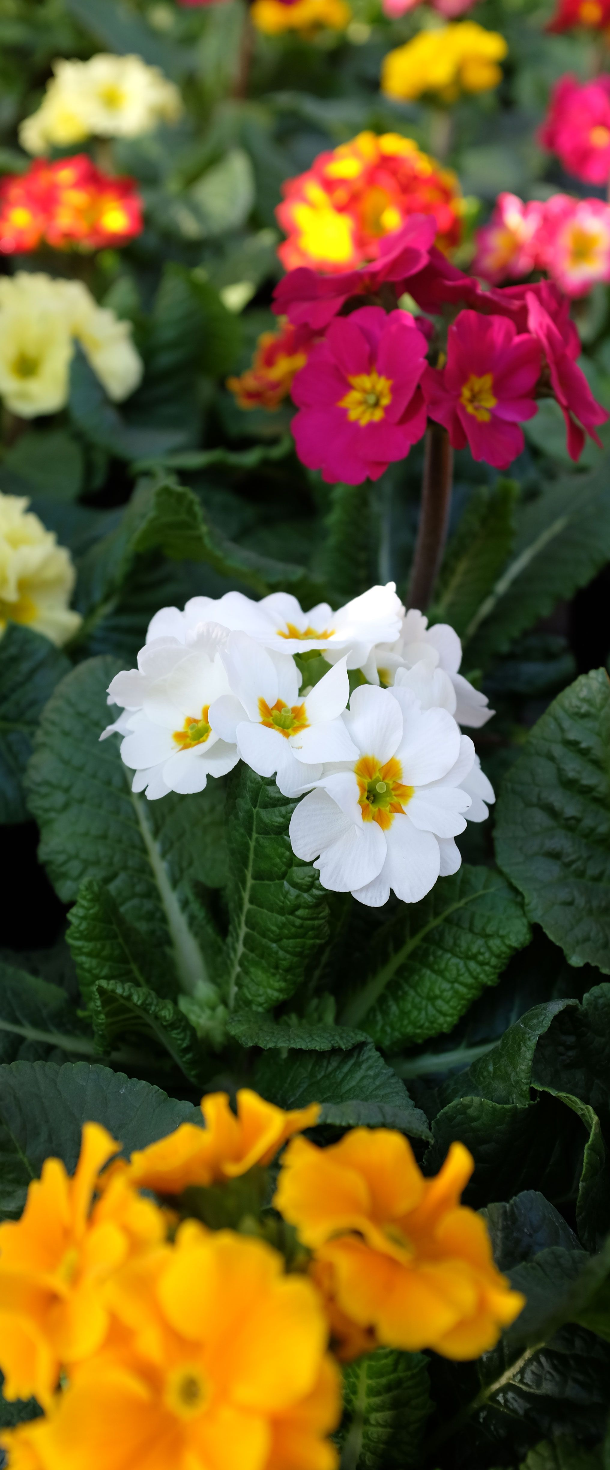 The colours of #primroses make your winter garden an oasis of happiness and joy! #Agricola #wintercolours #gardenlover #waitingforspring
