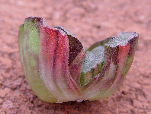 Succulent Plant Information: Haworthia truncata red variegate on one side.