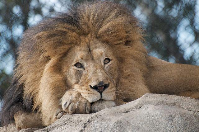 The King...M'Bari San Diego Zoo