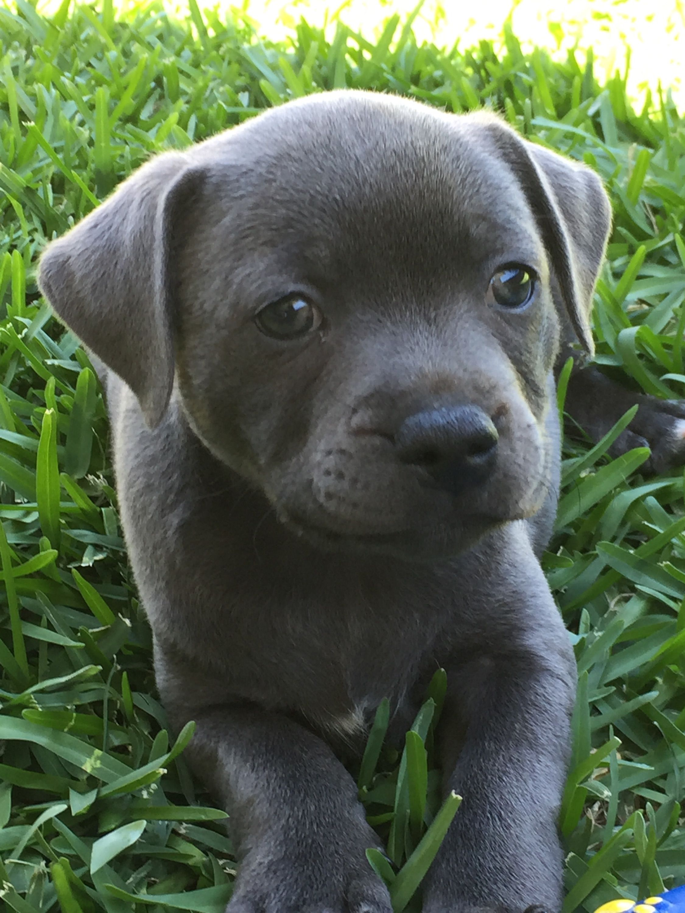 Pin by Willow Ovard on staffy babies Animals, Dogs, Pitbulls