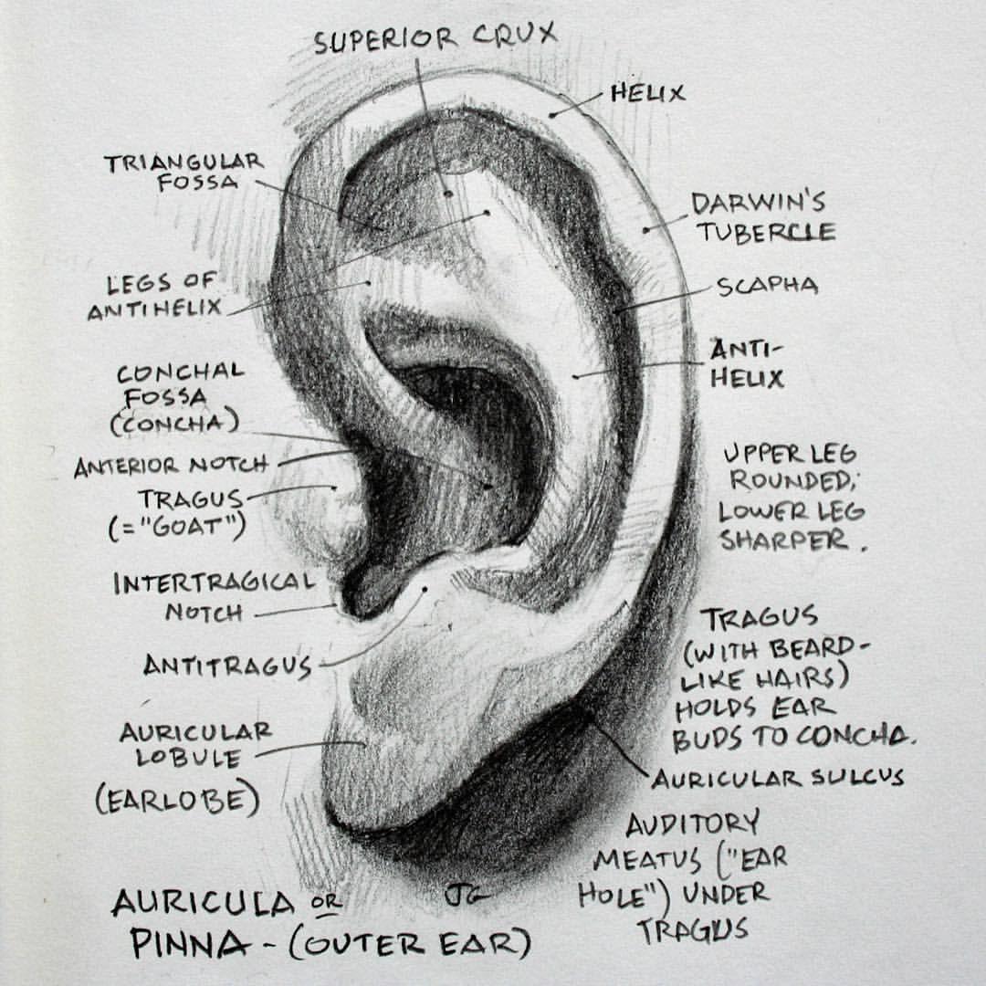 Pin by Ginl on Anatomy Art | Pinterest | Anatomy, Anatomy art and ...
