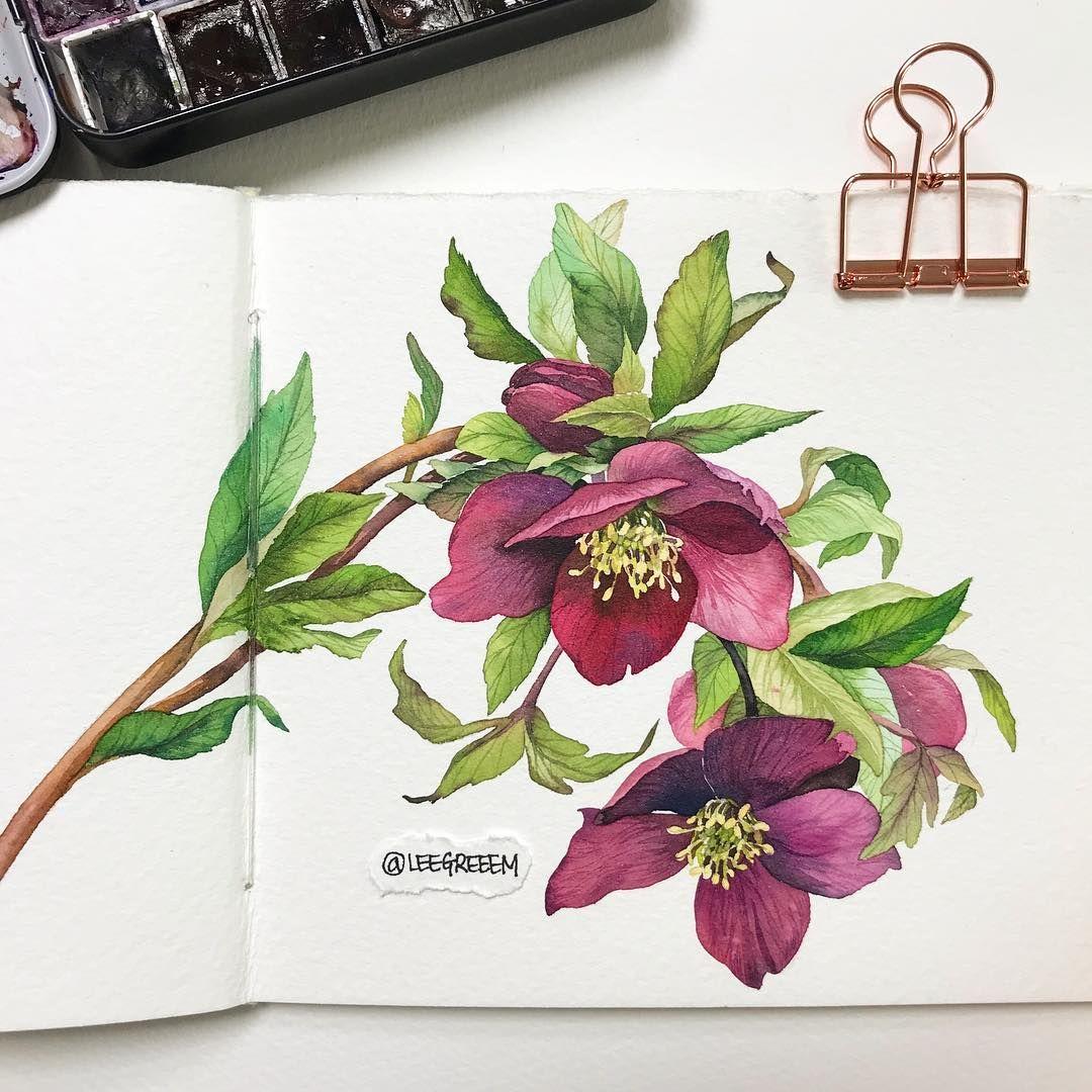 네 눈앞에 내 그림 On Instagram 헬레보루스 또는 크리스마스로즈 벌써부터 손이 시리다 Saunders Waterford H W Rough Cotton 100 3 Flower Art Botanical Sketchbook Botanical Watercolor