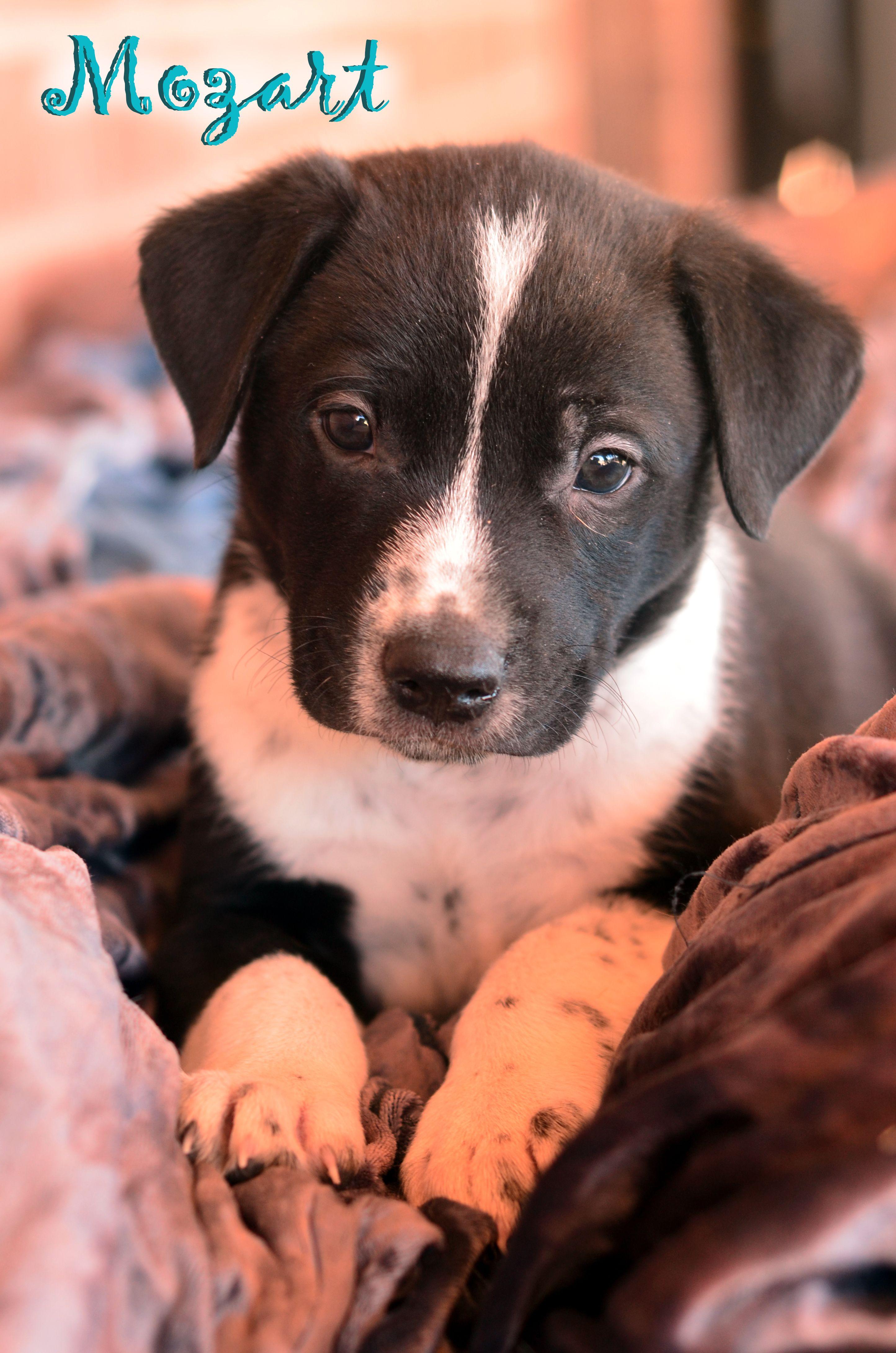 Labrador Retriever Dog For Adoption In Tucson Az Adn 803663 On Puppyfinder Com Gender Male Age Baby Dog Adoption Retriever Dog Labrador Retriever