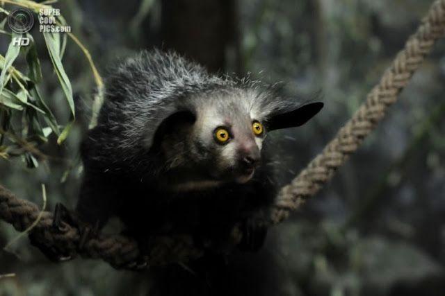 Aye-aye, un primate que se alimenta como el pájaro carpintero El aye-aye (Daubentonia madagascarensis) es un primate estrepsirrino, un suborden cuya característica principal es su nariz húmeda.  Es una animal endémico de Madagascar y con una población estimada de 2.500 ejemplares.