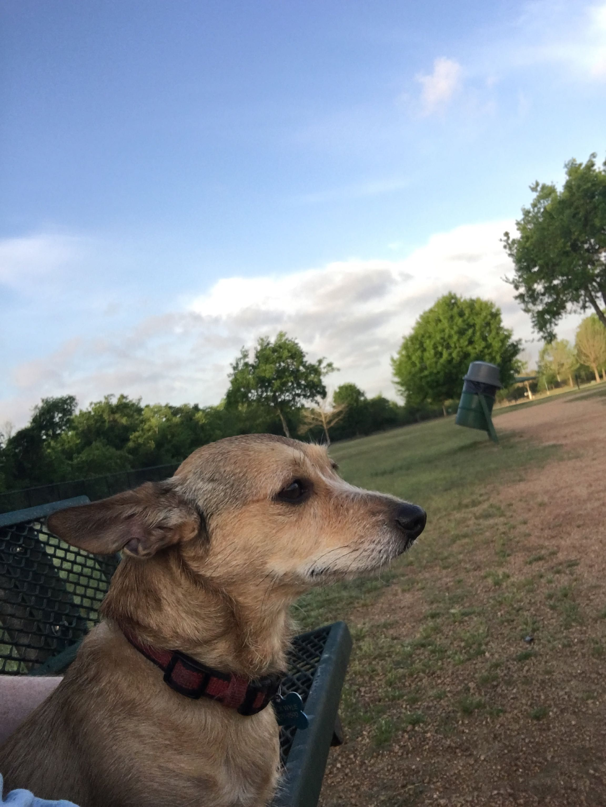 Mimi enjoying the view of an early morning dog park trip
