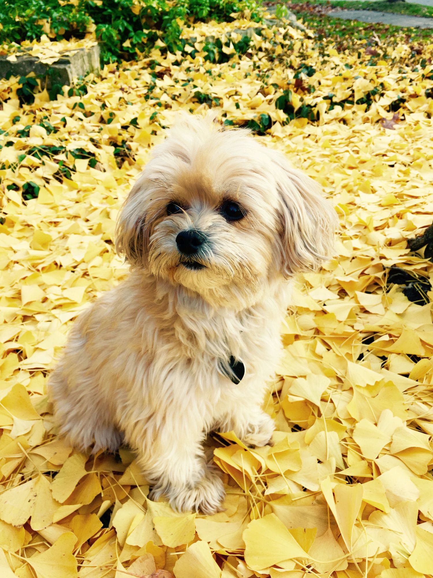 Sweet Yorki Poo Wonderful Family Dog Yorkie Poodle Yorkie Poo Puppies Yorkie Poo