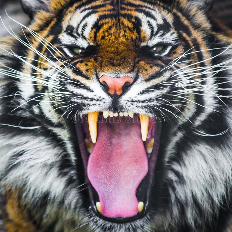 Growl Diego: Tiger Roar Images