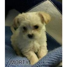 Adopt A Dog Maltese Mix Chihuahua Morty Dog Adoption Cute