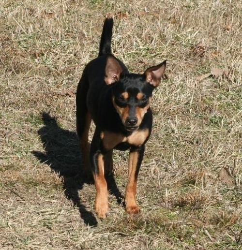 Adopt Dobie On Miniature Pinscher Dog Little Dogs Miniature Pinscher