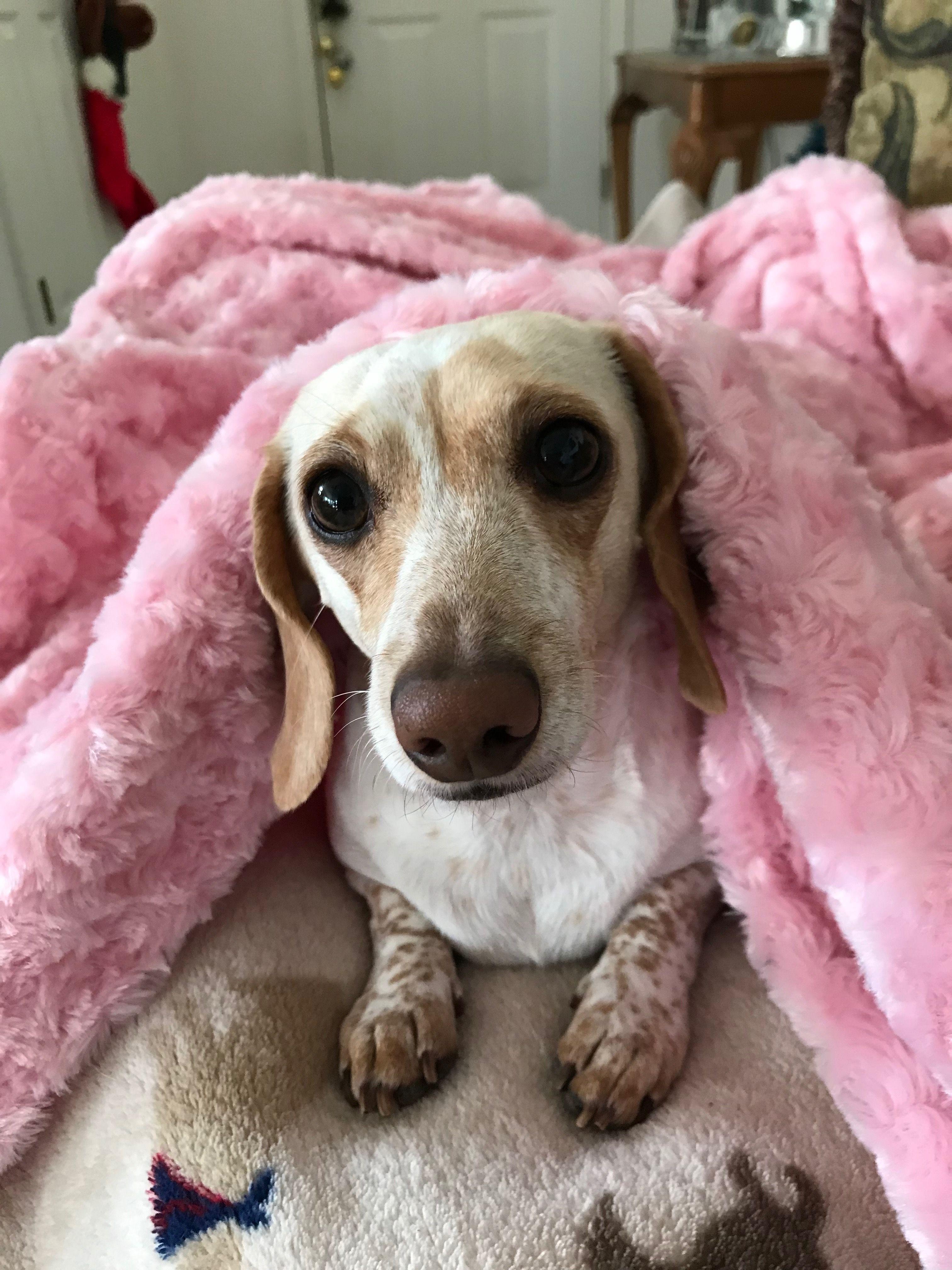 Dachshund Kali Ann Weenie Dogs Dachshund Love Cool Pets
