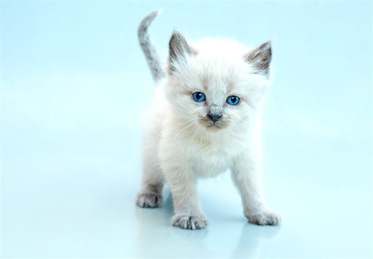 5 Things To Know About Balinese Cats Balinese Cat Cats Hypoallergenic Cats