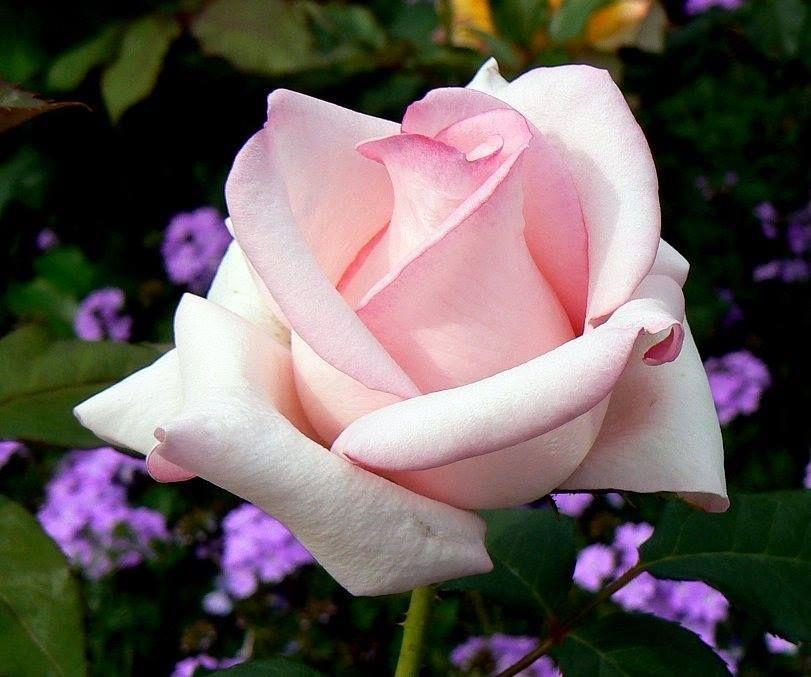 Pin By Nan On One Beautiful Single Rose Beautiful