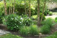 landscaping with river birch - Google Search