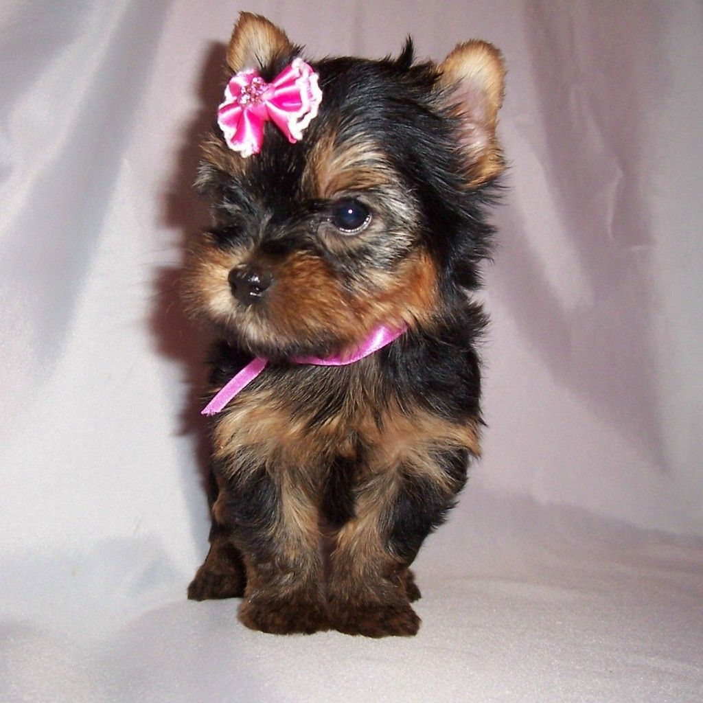 The Yorkshire Terrier Originated In Yorkshire And The Adjoining Lancashire A Rugged Region In Northern Yorkshire Terrier Dog Yorkshire Terrier Yorkie Puppy