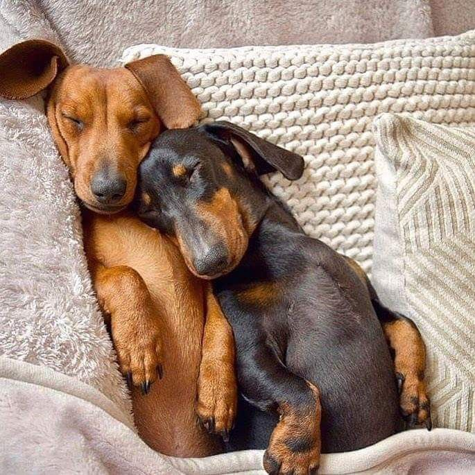 Oh Puppers Two Are So Much Better Than One Dachshund