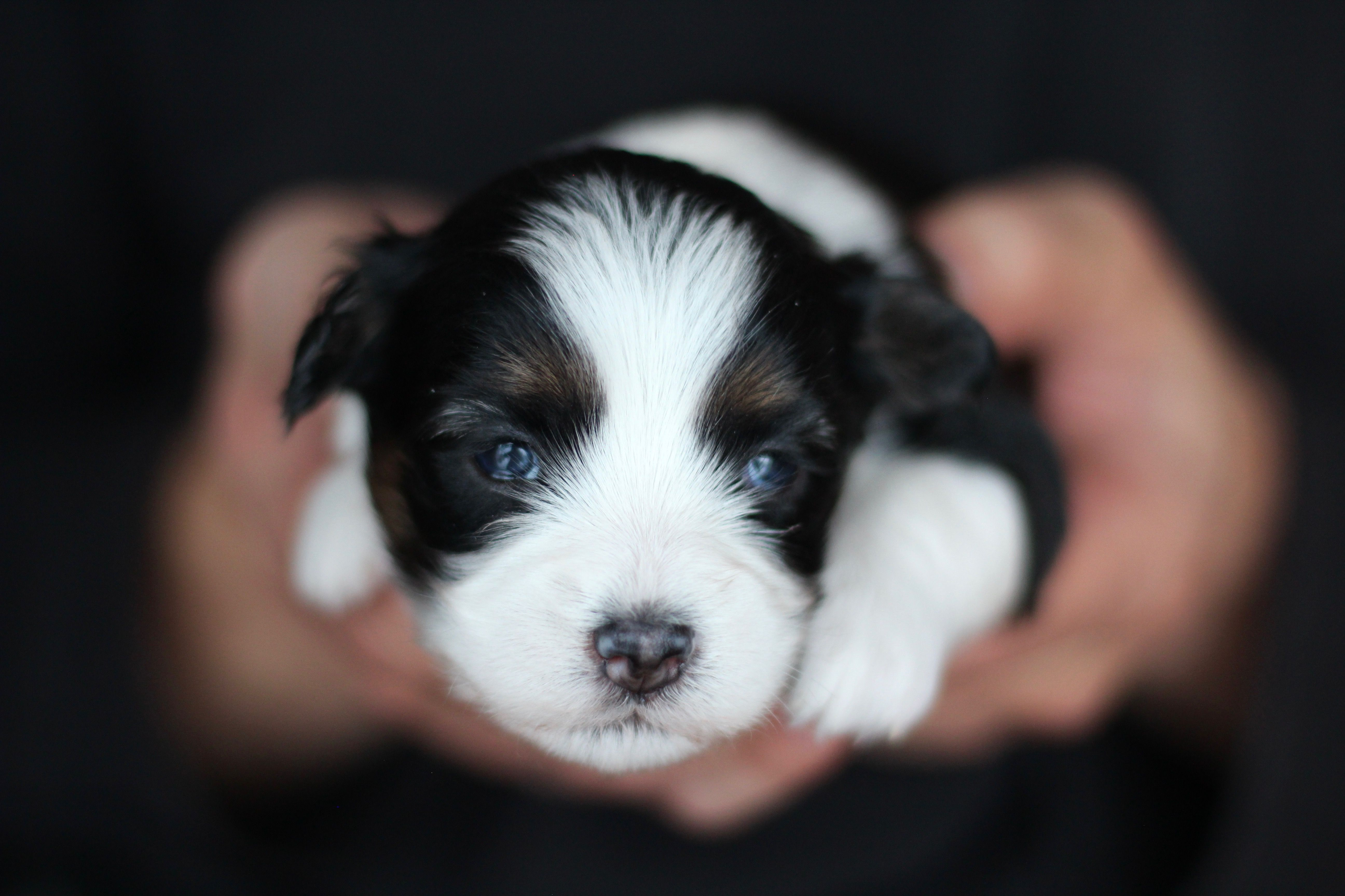 Bichon Shih Tzu Puppy Babybarks Ca Shih Tzu Puppy Bichon Shih Tzu