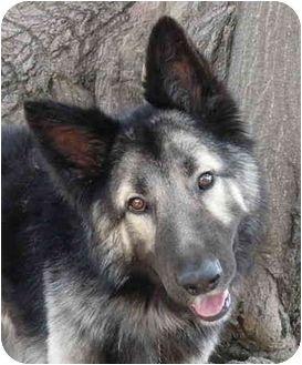 German Shepherd Dog Australian Shepherd Mix Dog For Adoption In