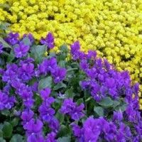 Violet - Purple Showers - best in shadey/moist - bloom in spring and if cut down will rebloom in fall